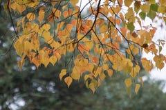 Cor das mudanças das folhas durante o outono Imagem de Stock Royalty Free