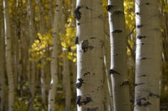 Cor de Colorado: Vidoeiros e ouro Imagem de Stock Royalty Free