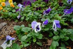 Cor de Freshy de flores da viola do amor perfeito com as folhas verdes na terra fotos de stock royalty free