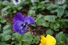 Cor de Freshy de flores da viola do amor perfeito com as folhas verdes na terra imagem de stock