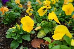 Cor de Freshy de flores da viola do amor perfeito com as folhas verdes na terra fotografia de stock