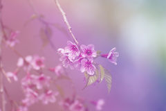 Cor de Grsdient de flores Himalaias selvagens da cereja Fotos de Stock