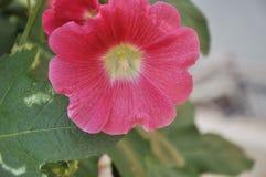 Cor de Malva Flower Pink imagem de stock royalty free