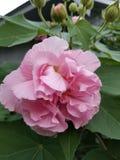 Cor-de-rosa Foto de Stock Royalty Free