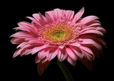 Cor-de-rosa fotografia de stock royalty free