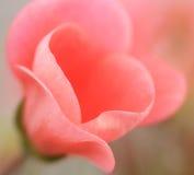 Cor-de-rosa imagens de stock