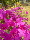 Cor-de-rosa Imagens de Stock Royalty Free