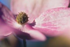 Cor-de-rosa agradada Imagens de Stock