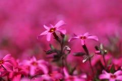 A cor-de-rosa apronta Fotografia de Stock