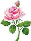 A cor-de-rosa bonita levantou-se Imagens de Stock Royalty Free