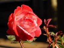 Cor-de-rosa cor-de-rosa, close up Foto de Stock