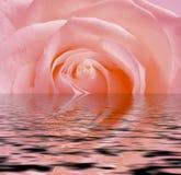 Cor-de-rosa cor-de-rosa, reflexão na água ilustração stock