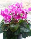 A cor-de-rosa cyclamen Fotos de Stock