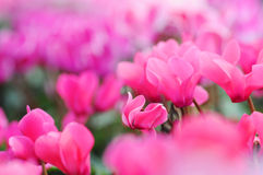 A cor-de-rosa cyclamen flores fotos de stock