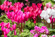 A cor-de-rosa cyclamen flores Imagem de Stock Royalty Free