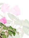 A cor-de-rosa cyclamen o fundo da flor Fotografia de Stock Royalty Free