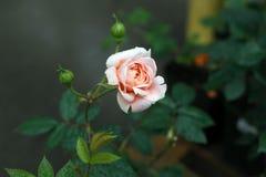 A cor-de-rosa de florescência levantou-se Fotografia de Stock