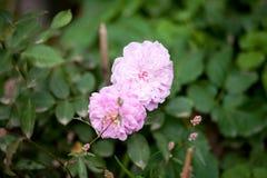 ` Cor-de-rosa de Pat Austin do ` de Rosa da peônia, arbusto Imagem de Stock