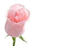 Cor-de-rosa do botão de Rosa Imagens de Stock