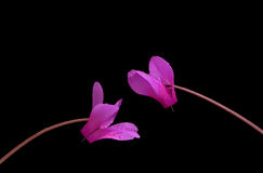 A cor-de-rosa dois cyclamen Fotografia de Stock