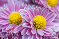 Cor-de-rosa e amarelo Imagens de Stock Royalty Free