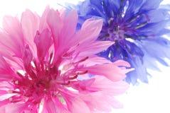 Cor-de-rosa e azul Fotografia de Stock Royalty Free