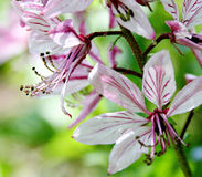 Cor-de-rosa e branco Imagens de Stock Royalty Free