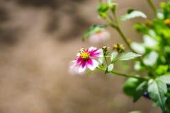 Cor-de-rosa e branco Fotos de Stock