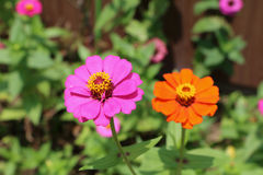 Cor-de-rosa e laranja Fotografia de Stock Royalty Free