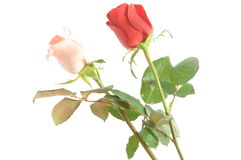A cor-de-rosa e o vermelho levantaram-se Foto de Stock Royalty Free