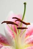 A cor-de-rosa fecha-se lilly acima Imagem de Stock Royalty Free