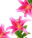 A cor-de-rosa floresce o lírio Foto de Stock