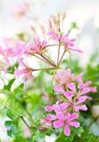 A cor-de-rosa floresce o Pelargonium Fotos de Stock Royalty Free