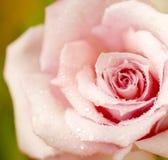 A cor-de-rosa fresca levantou-se fotografia de stock royalty free