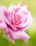 A cor-de-rosa fresca levantou-se fotos de stock royalty free