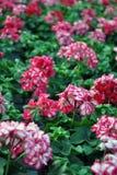 Cor-de-rosa - gerânio branco imagens de stock