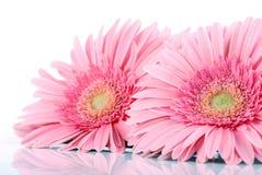 Cor-de-rosa grande. Foto de Stock Royalty Free