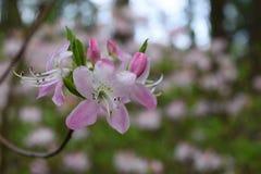 Cor-de-rosa ilumine - a flor roxa da flor do rododendro fotografia de stock