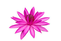 Cor-de-rosa isolada waterlily no branco Imagem de Stock