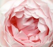 A cor-de-rosa levantou-se Fotos de Stock