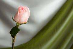 A cor-de-rosa levantou-se Imagens de Stock