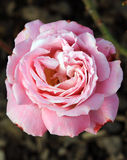 A cor-de-rosa levantou-se Fotografia de Stock Royalty Free