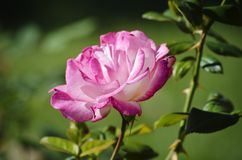 A cor-de-rosa levantou-se Imagem de Stock Royalty Free