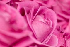 A cor-de-rosa levantou-se. fotografia de stock