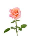 A cor-de-rosa levantou-se Imagem de Stock