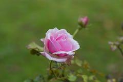 A cor-de-rosa levantou-se foto de stock