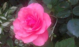 A cor-de-rosa levantou-se Fotos de Stock Royalty Free