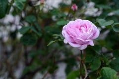A cor-de-rosa levantou-se Foto de Stock Royalty Free