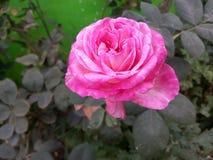 A cor-de-rosa levantou-se fotografia de stock