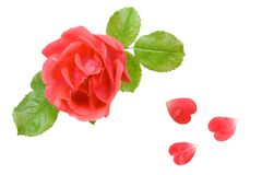 A cor-de-rosa levantou-se com as pétalas na forma dos corações Fotografia de Stock